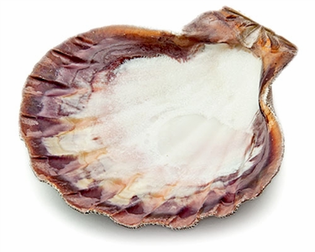 Lion Paw Shell