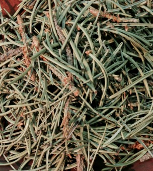 Pinon Pine Needles - United States