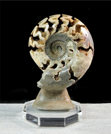 Large Polished Ammonite Shloenbacchia