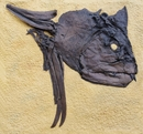 Xiphactinus Fossil Fish Skull Large Wall Display