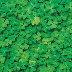 Nature: Clovers 12 x 12 Paper