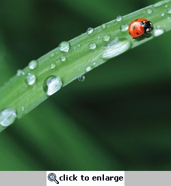 Spring: Lady Bug and Water Drops 12 x 12 Paper