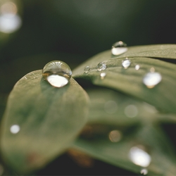 Water Drops on Leaves 12 x 12 Paper