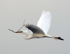 Flying Egret with Gift