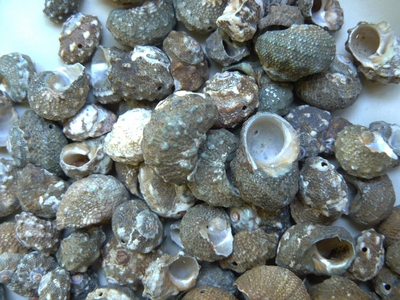 12x19mm Sea Shell Beads 160 grams
