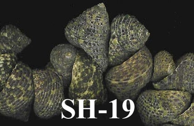 15x22mm Sea Snail Shells 160 grams