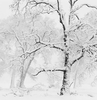 Trees in Snowstorm, Yosemite Valley, Limited Edition Print