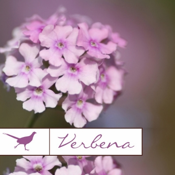 Verbena Collection