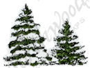A8882 Two Small Snowy Spruce