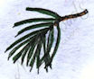 AA9345 Small White Pine Branch