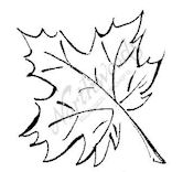 B8195 Sketched Sugar Maple
