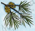 B9518 Small White Pine With Cones