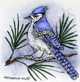 Blue Jay On Pine C8890
