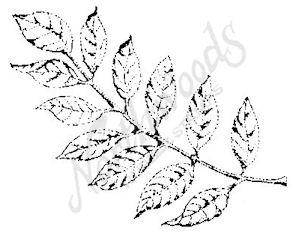 E3776 Black Walnut Leaf-Medium