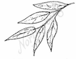E3792 Willow Leaves
