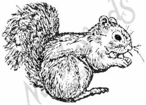 E656 Single Gray Squirrel