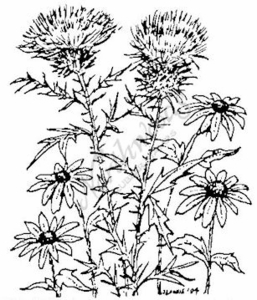 M3748 Thistle and Black-eyed Susans-Medium