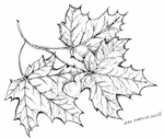 M7609 Three Maple Leaves On Branch