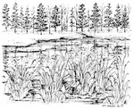 M8069 Lake With Pines And Reeds
