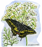 M8965 Black Swallowtail On Dill Weed