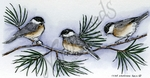 O8886 Three Chickadees On Pine Branch