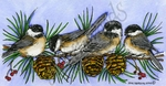 O9655 Chickadees, Pines And Berries