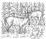 P1722 Buck and Doe In Woods