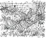 P1744 Pheasants By Barbed Wire Fence