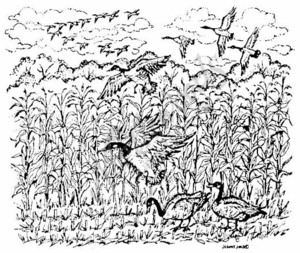P3618 Geese In The Cornfield