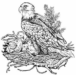 P638 Bald Eagle In Nest