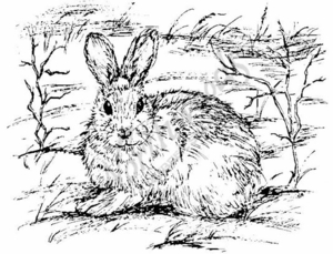 P661 Snowshoe Hare