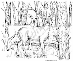 P7355 Deer Pair In Wooded Forest