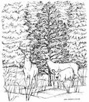P8325 Three Deer With Front Spruce In Forest