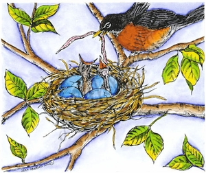 P8418 Robin Feeding Babies In Nest