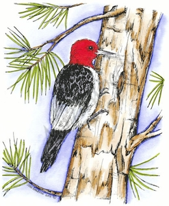 P8431 Red-headed Woodpecker On Pine Tree