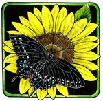 PP8970 Black Swallowtail On Sunflower Blossom Square
