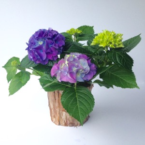 Hydrangea Plant - SOLD OUT