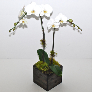 Double Phalaenopsis Orchid