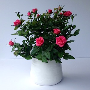 Rose Plant - SOLD OUT