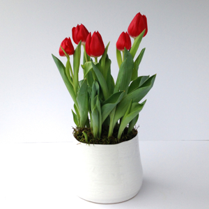 Tulip Plant - SOLD OUT