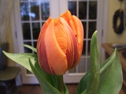 Double Orange Tulip
