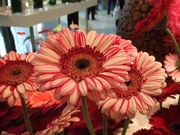 Gerbera Fiction