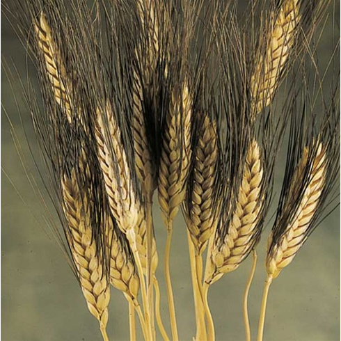 Blackbeard Wheat 8 oz. <br> See Available Colors