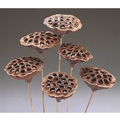 Medium Lotus Pods <br> 10 Stems - Natural