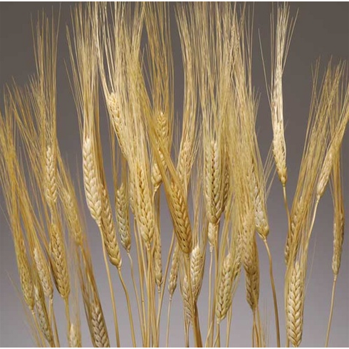 Triticum Wheat - 8 oz. <br> See Available Colors