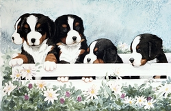 """Bernese Mountain Dog  """"Five Little Guys in a Box"""" Limited Edition Print"""