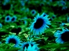 20 Rare Turquoise Sunflower seeds Ships Free