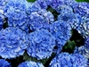 20 Blue Hydrangea Flower Seeds - Ships FREE