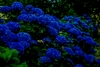 20 Dark Blue Hydrangea Flower Seeds Ships FREE