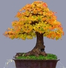20 Autumn Colors Bonsai Tree Seeds Ships FREE